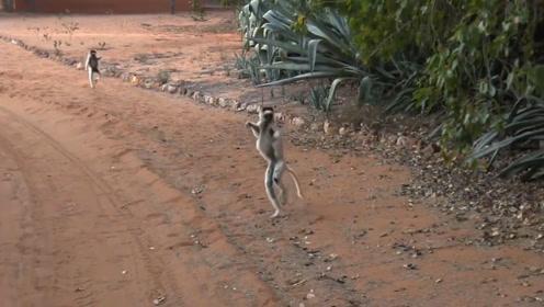 喜欢横着走路的猴子,姿势如同跳舞一般,这是为什么呢