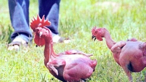 这种杂交鸡天生没有毛,脂肪低营养价值高,你想尝试一下吗?
