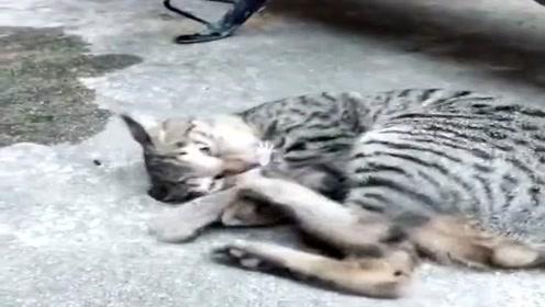 猫子抓到老鼠,疯狂为它洗脑,耗子当场晕倒!