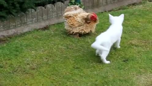 小白猫勇敢大战火鸡,这么猛的小猫咪还是第一次见