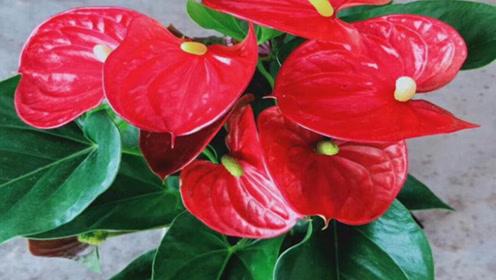 """红掌喝了这""""肥水"""",不臭还带香,叶子翠绿油亮,四季花开大又艳"""
