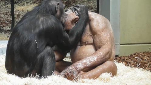 """公猩猩患病脱光了毛发,母猩猩不离不弃,作出如此""""夸张""""动作!"""