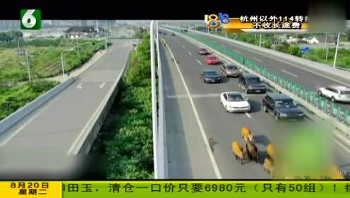 牛群跑上高速与车同行 交警费尽周折才把牛群赶下高速