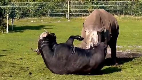 牛脾气有多猛,水牛大战犀牛,绝对的王者级重量对决