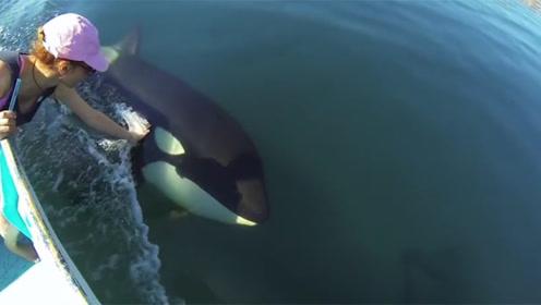 野生虎鲸看到小姐姐,怎么也不走了,不停过来求撸,太可爱了!