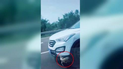女司机高速上顶着野鸡一路疾驰 网友调侃:真鸡动车