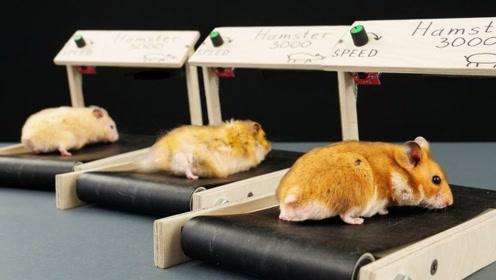 国外牛人用木板给仓鼠做了个跑步机,仓鼠跑到停不下来