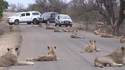 一群狮子瘫坐在马路中央,老外大胆停车拍照,下一秒车主吓坏了