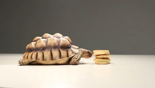 乌龟兄弟过生日,主人买了个蛋糕,大龟秒变吃货