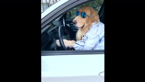 酷酷的金毛戴着太阳镜准备出发,老司机无疑了