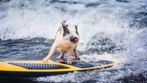 这头猪成精了!偏偏喜欢海上冲浪,游泳滑水样样精通,绝技无敌!