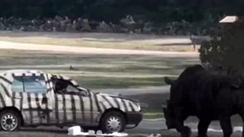 犀牛发狂把汽车当玩具顶来顶去 员工坐车内翻滚