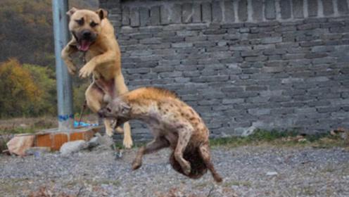 比特犬不到五分钟就被鬣狗干掉,鬣狗群横扫草原是有原因