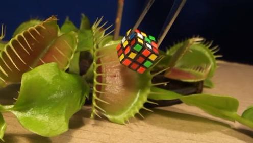 捕蝇草连魔方都不放过,咬住完全不松口,网友:还有什么不能吃!