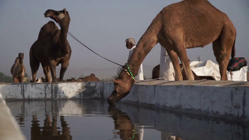 """骆驼的""""肾""""有多厉害?一口气喝120公斤水,场面让人无法淡定"""