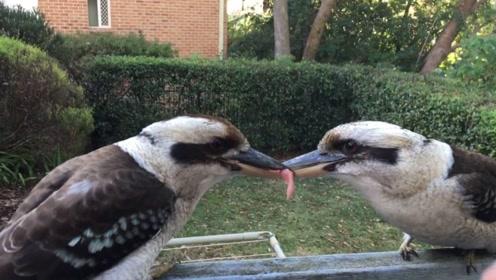 澳洲国鸟为抢一口吃的,在寒风中死磕几小时,路人看不下去了!