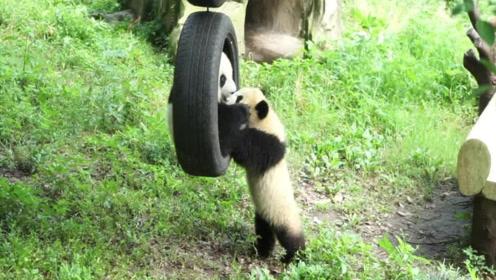 """熊猫对体重太""""自信"""",胖熊非要坐秋千,谁料意外发生,憋住别笑"""