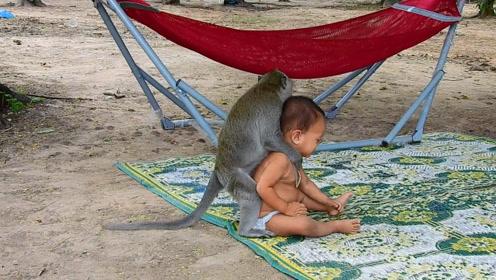 猴子照顾1岁小宝宝,拦腰提起脑袋着地,吓得众人大叫!