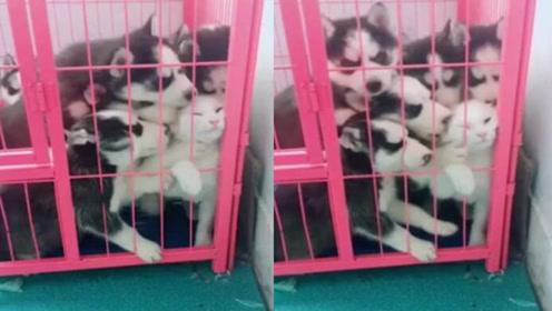 """猫咪闯入哈士奇笼子一群二哈热情""""慰问"""" 求猫咪的阴影面积"""