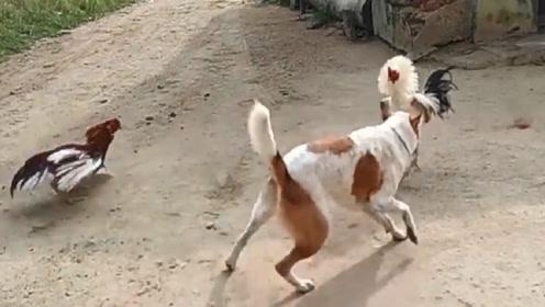 两只鸡打的热火朝天,突然冲出一只狗子拉架,千万忍住别笑!