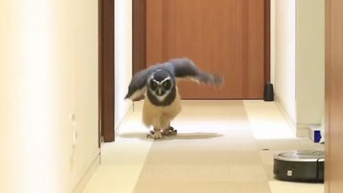 猫头鹰听到主人的呼唤,激动的迈着小碎步就跑过来了,太逗了