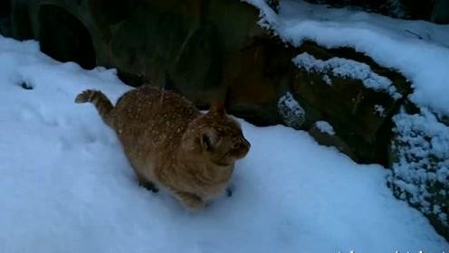 橘猫喜欢雪,像脱缰野马一样在雪地里蹦跶