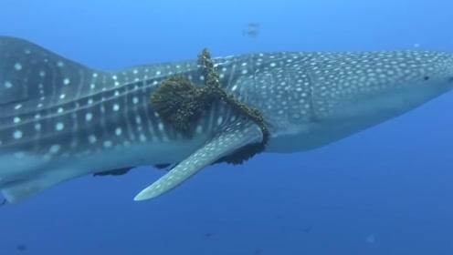 鲸鱼母子朝着游艇有过来,人们以为它们是饿了,看清后瞬间泪目!