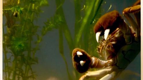 按压这个部位,新鲜的螃蟹和不新鲜的螃蟹差别很大
