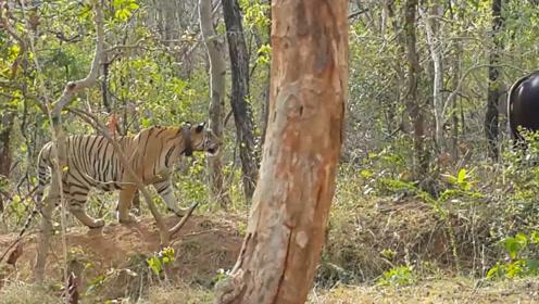 印度野牛正在吃草,殊不知老虎已在身后,接下来请憋着别笑