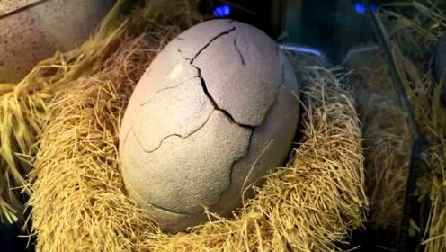 """男子意外发现""""巨蛋"""",不料竟孵化出小恐龙,这下要凉凉!"""