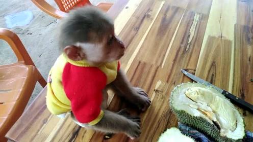 大叔花30块买的榴莲,赚了赚了,赶紧和猴子分着吃