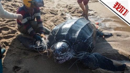 海南:濒危物种棱皮龟误入渔网 七八个渔民才能勉强拉动