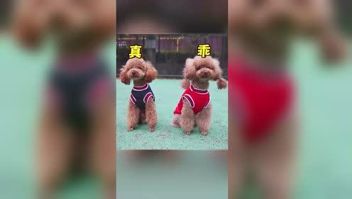 小狗狗上体育课,向左看齐,向右看