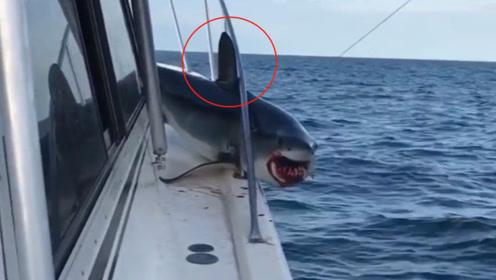 凶狠鲨鱼暴力袭击渔船,想不到却尴尬被卡住!只能垂着好好洗脑了