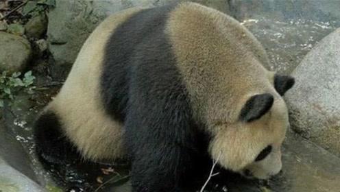 为什么熊猫这么脏,饲养员都不帮它洗澡?看完涨知识了