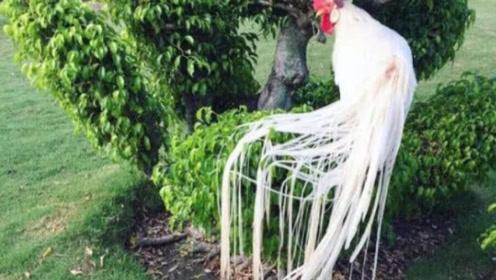 男子养了一群鸡,尾巴最长的2.5米,出价3万一只也不卖!