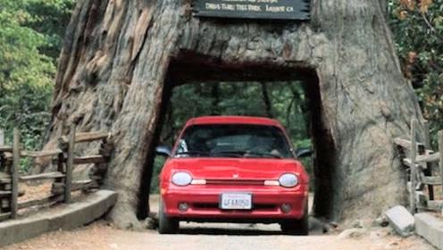 国外为了休公路,把千年老树挖出一个洞,百年后当地人后悔不已!