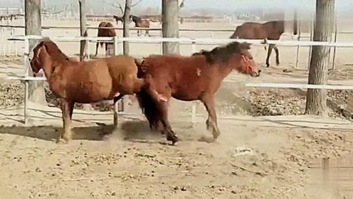 马是怎么打架的?背对背一顿互踹,看完忍住别笑!