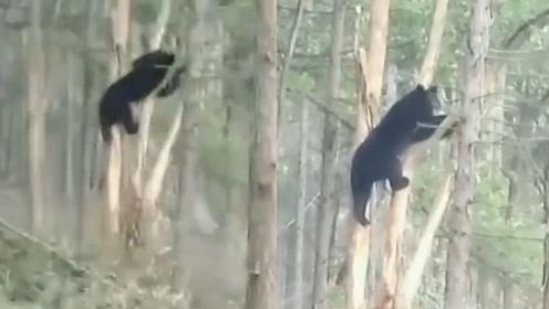 180斤黑熊挂树上动弹不得,引村民围观:姿态真是妖娆