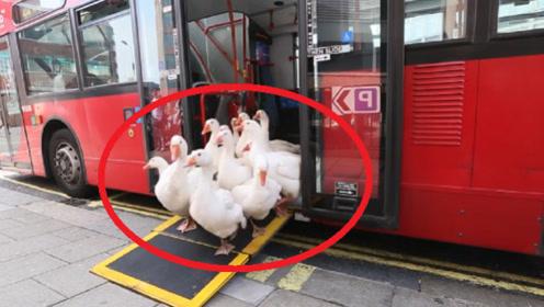 """公交车停站后下来一群鹅,后面还跟着""""特殊""""保镖!路人傻眼了"""