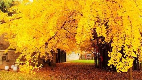 这颗唐太宗亲手种下的树,经历了1400年,如今令世界感到惊艳