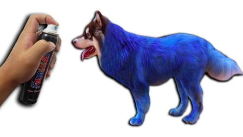 奇葩主人往狗狗身上喷蓝色染料,狗表现的生无可恋,场面有点好笑