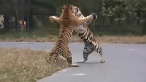 2头老虎相互扇巴掌,不分出胜负誓不罢休,脸都要打肿了