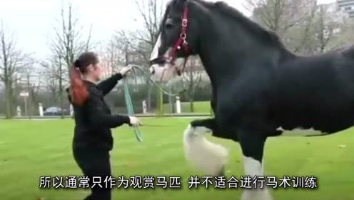 全球最暴脾气的马,发起火来,十几个壮汉都拖不动!