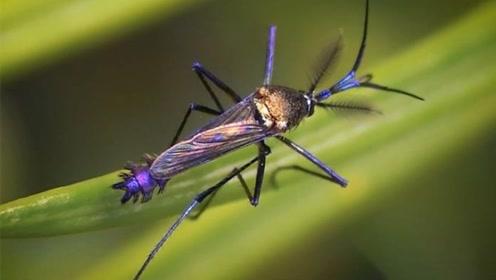 体型最大的蚊子,不仅不会叮咬人,还是灭蚊小能手!