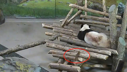 松鼠趁熊猫睡觉偷袭,踹完熊猫撒腿就跑,熊猫的反应笑到肚子疼