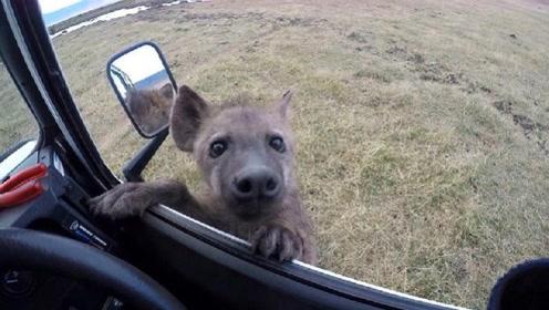 小鬣狗向人类求助,男子刚准备下车,下一秒意外发生了