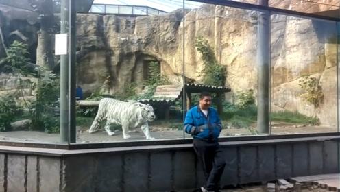 老虎隔着玻璃攻击男子,结果男子突然回头,老虎瞬间尴尬了