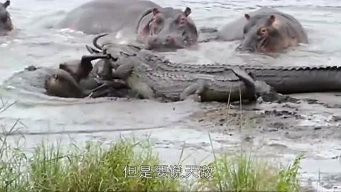 鳄鱼一旦遇见它,分分钟被秒杀,吃鳄鱼就像吃香肠一样爽!