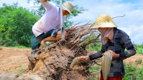 河边枯烂的树根里有鱼窝,农村兄弟挖开洞口,好多鱼啊